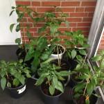 Chilin växer och frodas